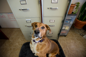 Digby the dog who has lupus at the Best Friends human resources office