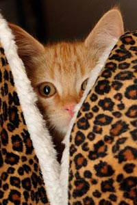 One of the kittens from the Beaver, Utah, TNR project