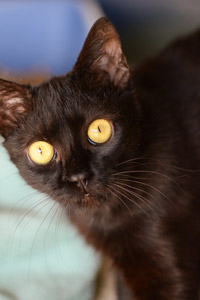 Miri the black kitten who was hit by a car