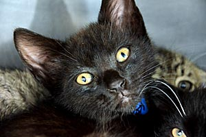 Goofy the all-black kitten with green eyes