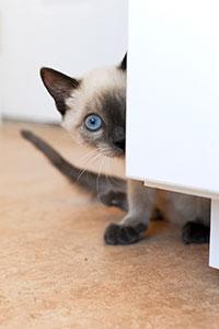 Mork the two-legged kitten plays peek-a-boo