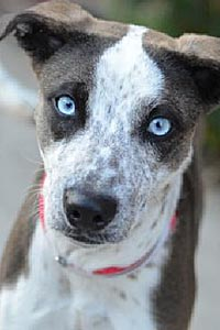 Bella, a young Australian cattle dog with blue eyes