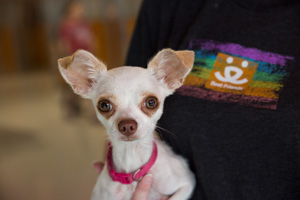 Chihuahuas are available for adoption for folks looking to adopt a small dog