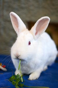Norah the New Zealand rabbit with white fur and red eyes eating a piece of lettuce