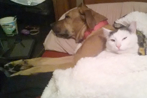 Labrador mix dog Honey cuddling with one of the cats