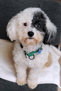 Patches the miniature poodle who had surgery for her incontinence challenges