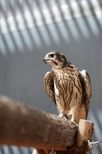 The rescued peregrine falcon