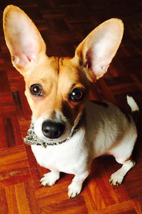 Poppy the adoptable dog with big ears from Lucky Puppy Rescue & Retail