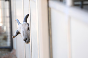 Phil the shy Nubian goat peeking around a door