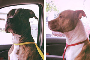 Cash and Aries the pit bull terrier dogs who were fixed thanks to Dolly's Foundation