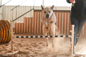 Tig the dog leaping over a bar during agility work