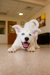 Yinyang the white puppy doing a play bow