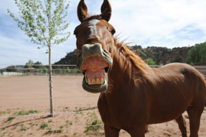 Red the horse talking, with his gums raised up over his teeth. He is a goofball.