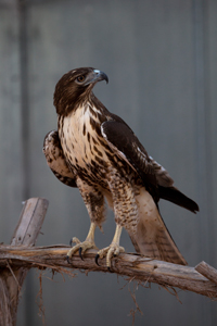 Swainson's hawks are migratory masters