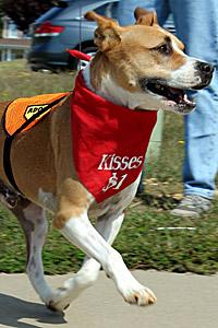 Oakley the pitbull dog on the go
