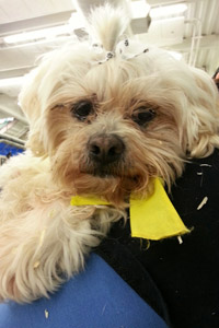 Shih Tzu and Maltese mix named Doc at the Salt Lake City Fall Pet Super Adoption