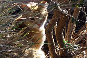 San Antonio community (feral) cat