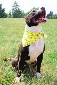 Gertie the pit bull who can be adopted from Saving Sunny in Louisville, Kentucky