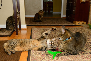 Nellie the brown tabby cat now loves to play