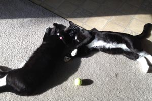 """Both tuxedo """"Hemingway"""" cats are happy in their home"""