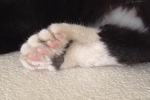 Cat with polydactyl toes