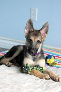 Kaya's ears are something to behold