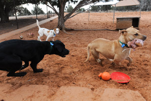 Three dogs playing outside with toys