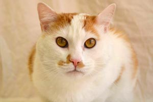 Chester the white and orange spayed cat from Roosevelt Animal Shelter
