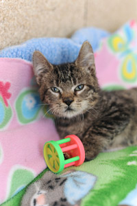 Cotton the tabby kitten with a toy