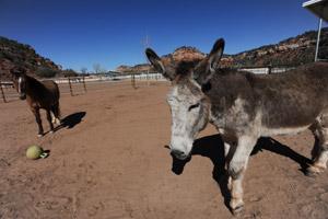 Speedy the mammoth donkey at the Sanctuary