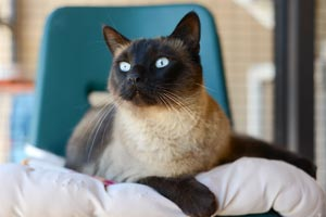 Spencer is a handsome Siamese mix cat who is discordant for feline leukemia