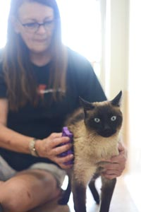 Spencer the Siamese cat who has inconclusive FeLV test results with a caregiver