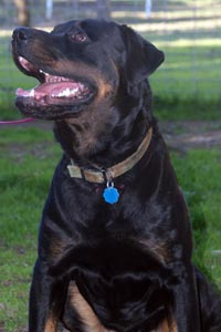 Chaos, a rottweiler mix from St. George Animal Shelter