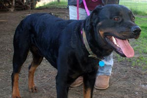 Rottweiler went to a breed rescue group and was then adopted