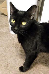 Suki the black cat from Free Fix LA