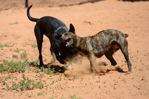 Brigit the dog playing with Porthos, a playful Lab mix
