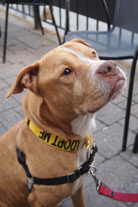 Tank the pit bull was rescued after Superstorm Sandy