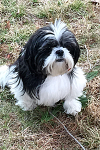 Taylor the shih tzu loving her new life