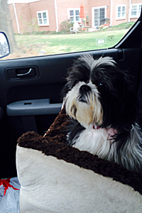 Taylor the shih tzu on the road