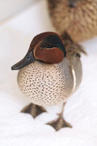 Teal duck with wing injury gets rehabilitated at Best Friends