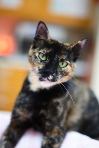 Flora the tortoiseshell cat who sustained a head injury and has neurological issues