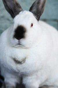 Trixie the chubby bunny