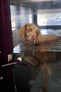Calvin the Austrailian shepherd mix dog in hydrotherapy at Best Friends