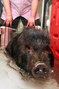 Pepper the pig in hydrotherapy at Best Friends
