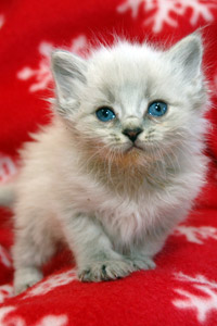 Kitten rescued from the Navajo Nation during TNR effort