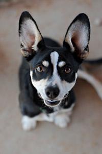 Carl the adoptable corgi dog from Best Friends Animal Society