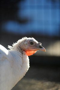 Coco the domestic turkey