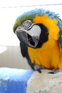 Crystal the macaw who has some physical challenges is available for adoption
