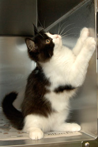Black and white kitten ready to be fixed at FCNMHP
