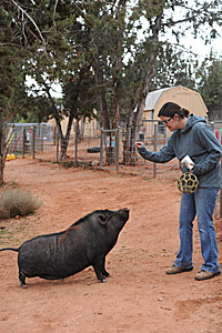 Daphne the pig sitting for Adria during clicker training